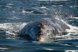 Gray Whale on the surface
