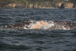 Whales Tail Charters | Depoe Bay's Resident Gray Whales