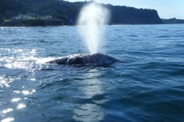 Resident Gray Whale