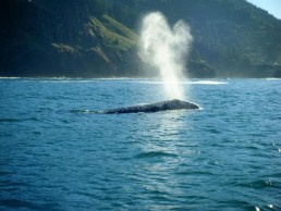 Whales Tail Charters | Gray Whales