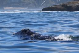 Whale Watching Tours Depoe Bay Oregon